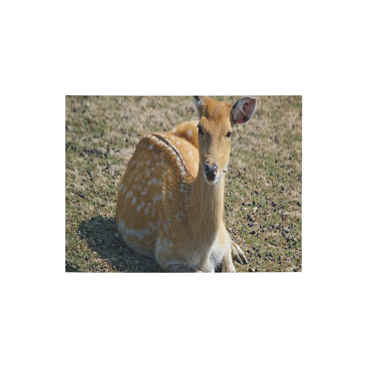 """Resting Doe Photo Panel for Tabletop Display 8""""x6"""""""