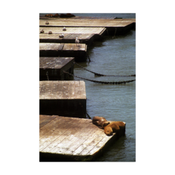 "Sunbathing Seals Poster 22""x34"""