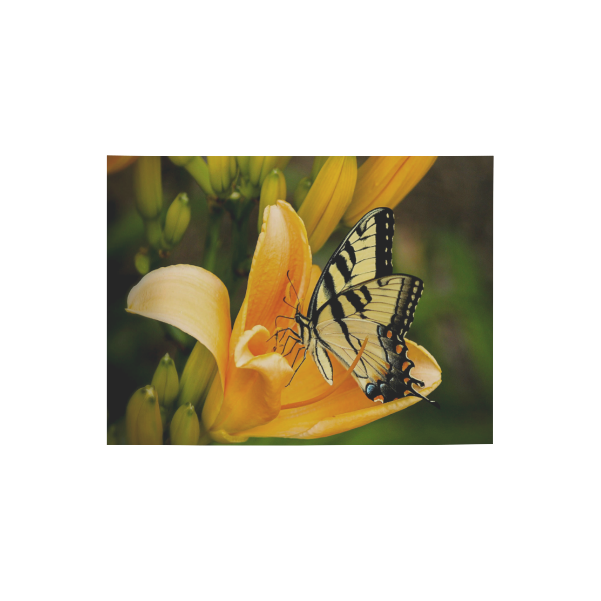 """Butterfly Orange Lily Photo Panel for Tabletop Display 8""""x6"""""""